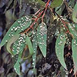 Wasp-infested eucalyptus leaves