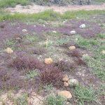 Otay Mesa mint (purple)