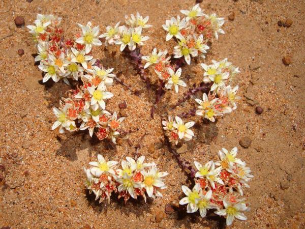 Blooming short-leaved Dudlea