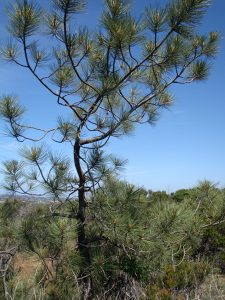 A Torrey Pine tree is one of the rare plants living on Carmel Mountain.